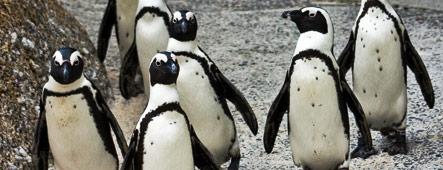 Kapstadt Pinguine