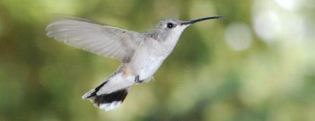 Karibik Kolibri