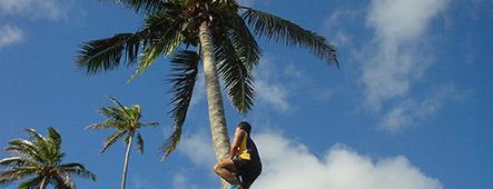 Pazifik Kokosnuss