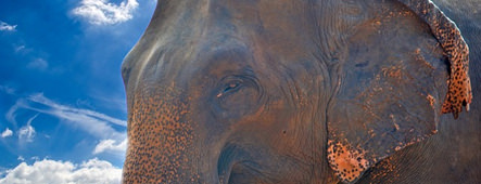 sri lanka elefant