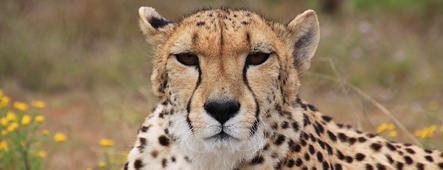 suedafrika gepard